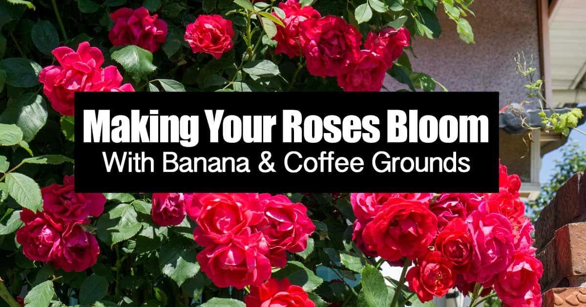 make-roses-bloom-coffee-banana-06302015