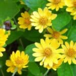 yellow blooms of the melampodium - blackfoot daisy