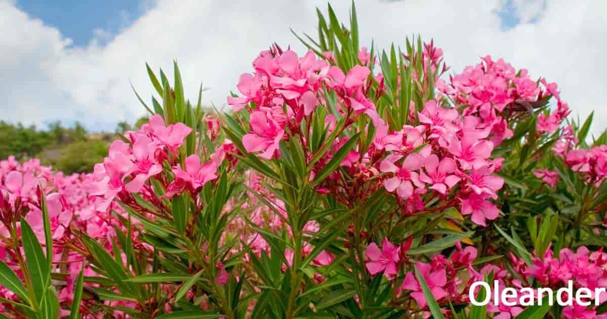 pink flowering oleander plant