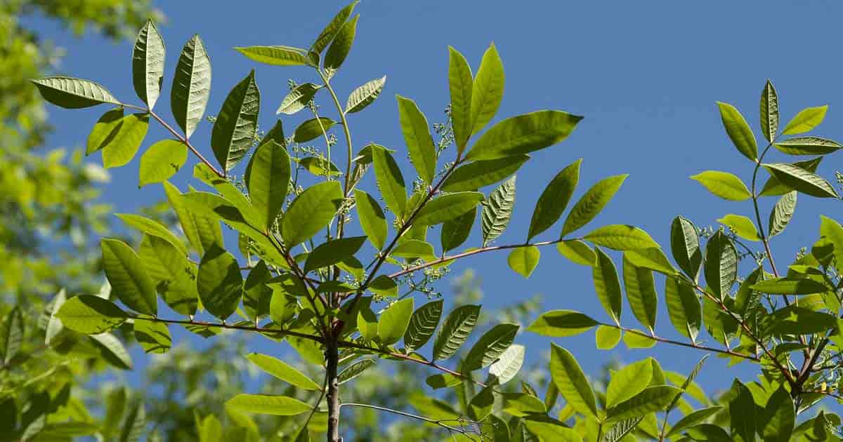 What is the difference between sumac and poison sumac mightylinksfo