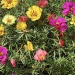 Blooming Portulaca plants