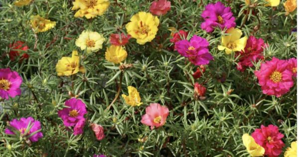 Assorted flowers of Portulaca Plant