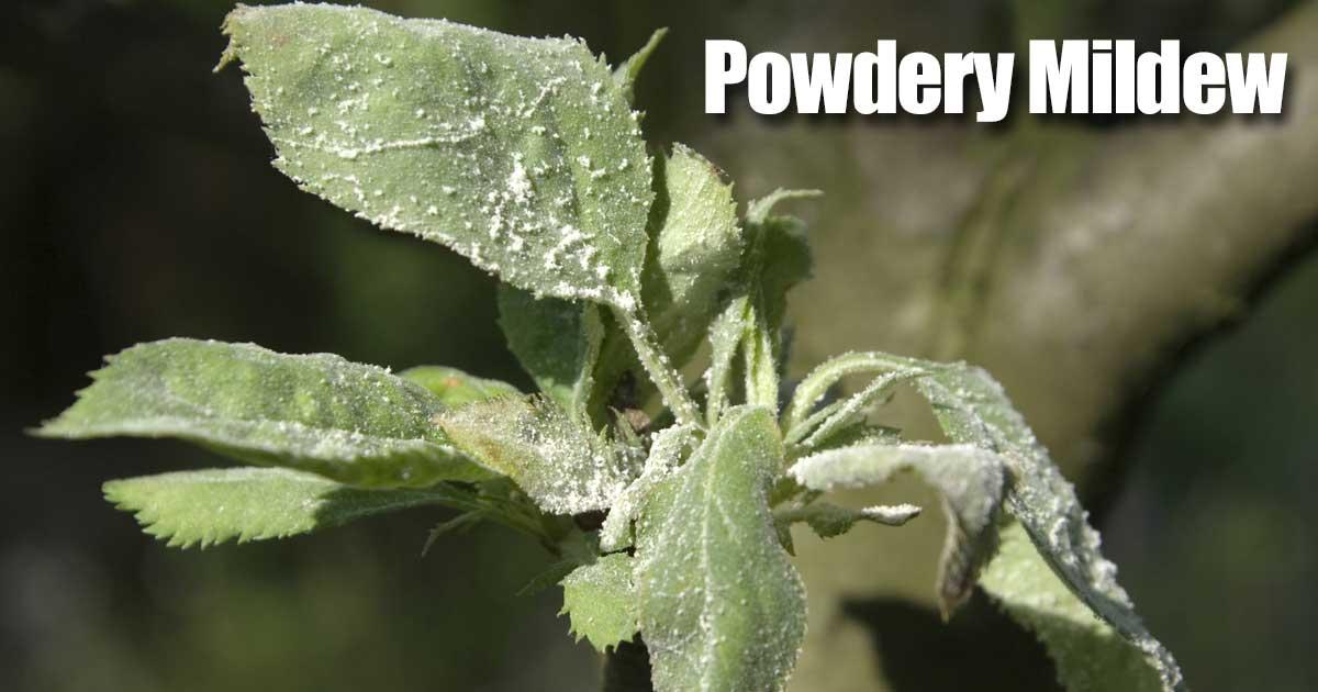 powdery-mildew-06302015