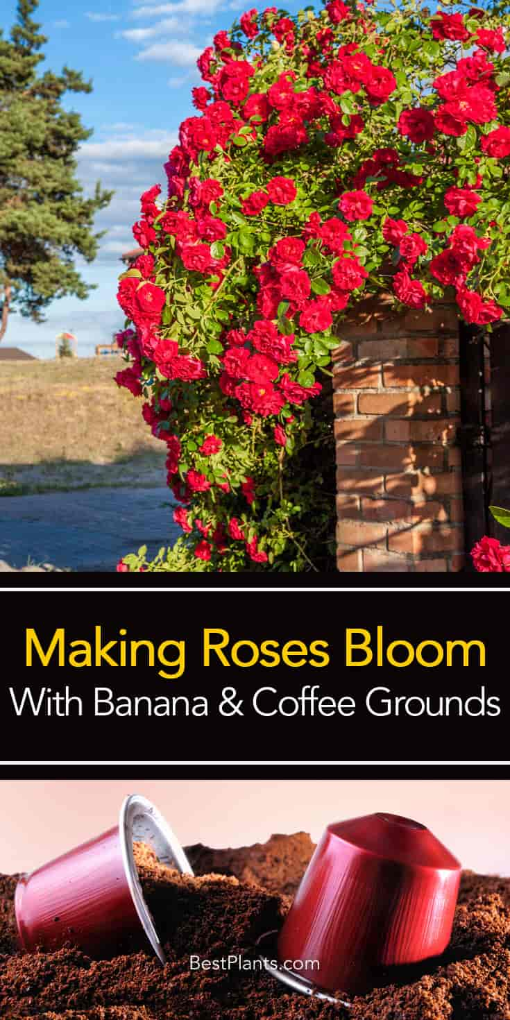Coffee Grounds And Roses Brighter Blooms