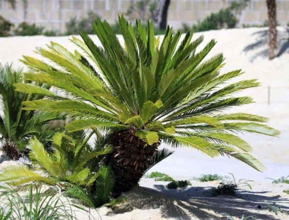 sago palm growing in the landscape