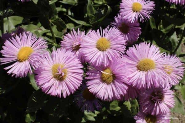 Fleabane Daisy - Blooming Erigeron