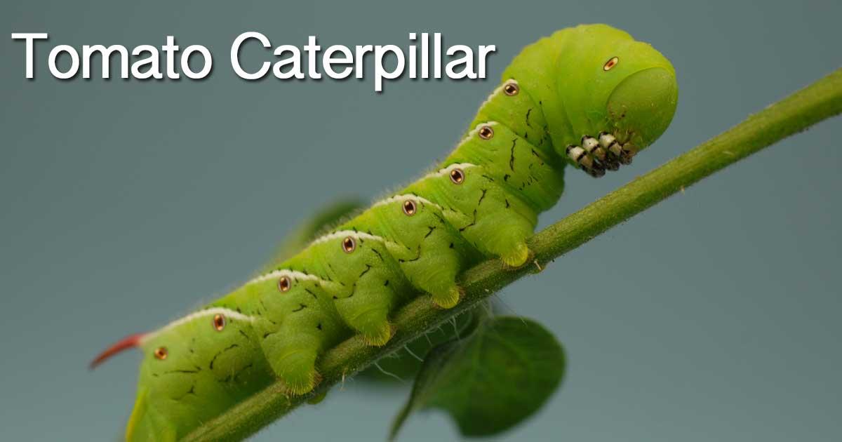 tomato-caterpillar-06302015
