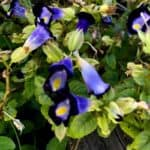 Blooming Torenia Plant