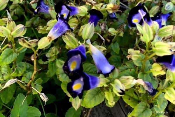 Flowering Torenia Fournieri Plant