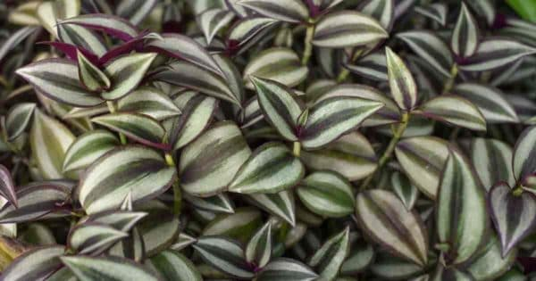 attractive foliage of the wandering jew growing as a ground cover