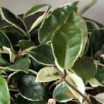 varigated wax plant