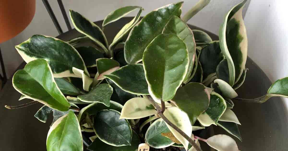 Wax Plant Care Learn How To Grow And Propagate Hoya Plants