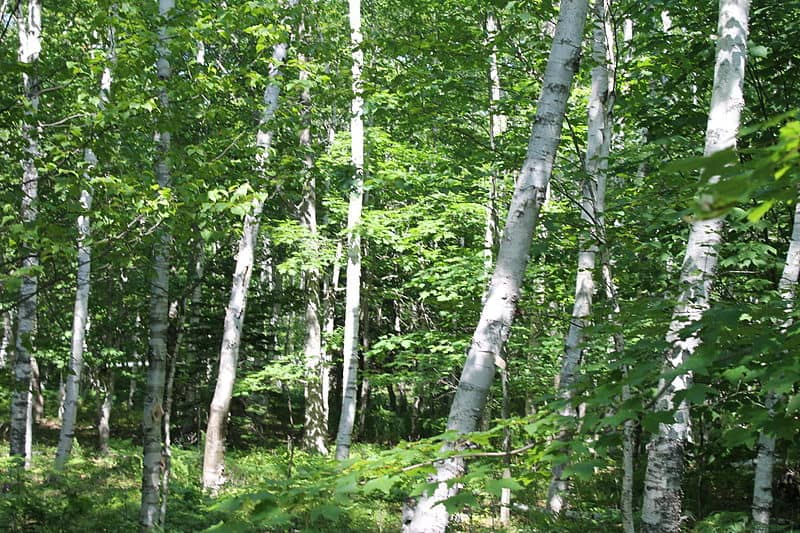 white-birch-wikipedia-06302015