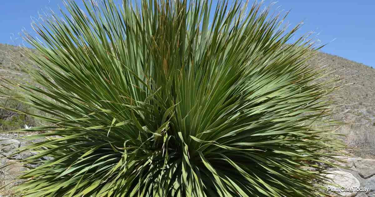 Yucca Plant growing outdoors in landscape